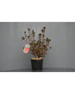 Rhododendron (AJ) 'Stewartstown' 25-30 cm C2