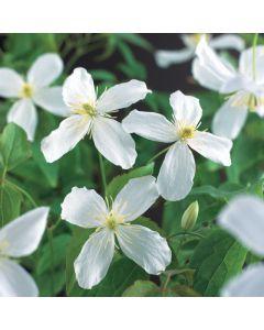Clematis mont. 'Grandiflora' 75 cm C2