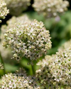 Allium nigrum 10/12 per 15