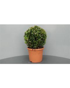 Buxus sempervirens C5 Ø 25 cm bolvorm