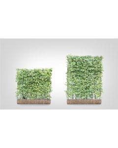 Carpinus betulus b120 cm x h155 cm haagelement