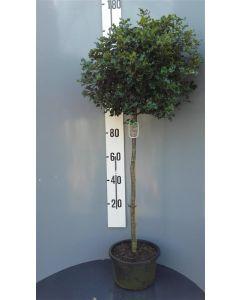 Ilex aquifolium C18 100 cm stam
