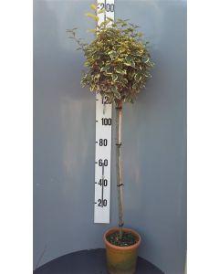 Elaeagnus ebb.'Vivileg' C18 120 cm stam