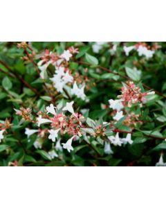 Abelia grandiflora 30-40 cm C3
