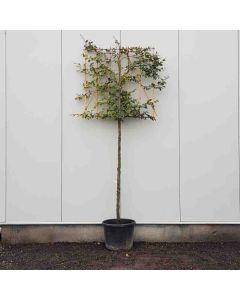 Fagus sylvatica 10/12 C35 leischerm 180 cm stam