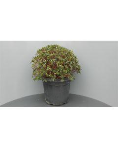 Rhododendron japonicum C20 Ø 60/70 cm bolvorm