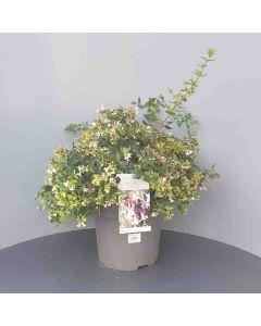 Abelia grandiflora 40-50 cm C10